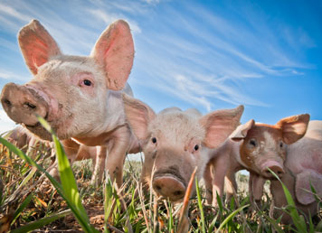 Pig MRSA food scare: Is your business safe?